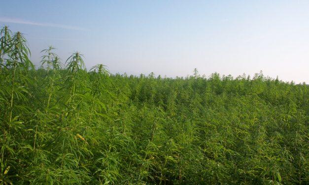 Cannabinoids: THC, CBD, and Your Health
