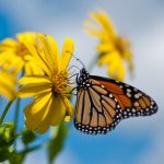 How to Help Sustain Monarchs