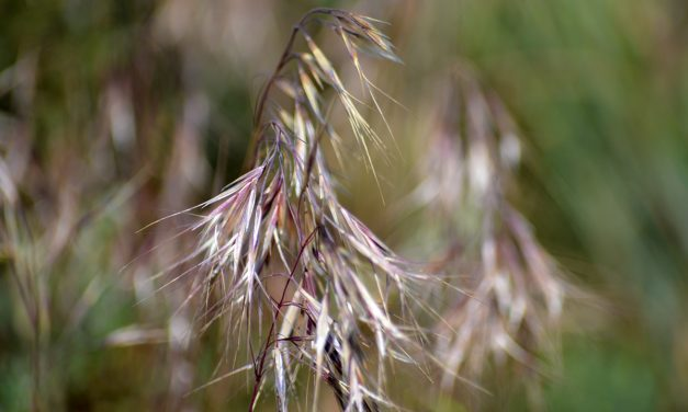What is Cheatgrass and when did it become such a big problem out west?
