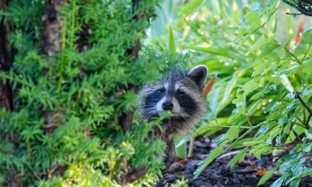 Study shows which North American mammals live most successfully alongside people